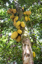 Seychelles, Durian tree with fruits - NDF00881