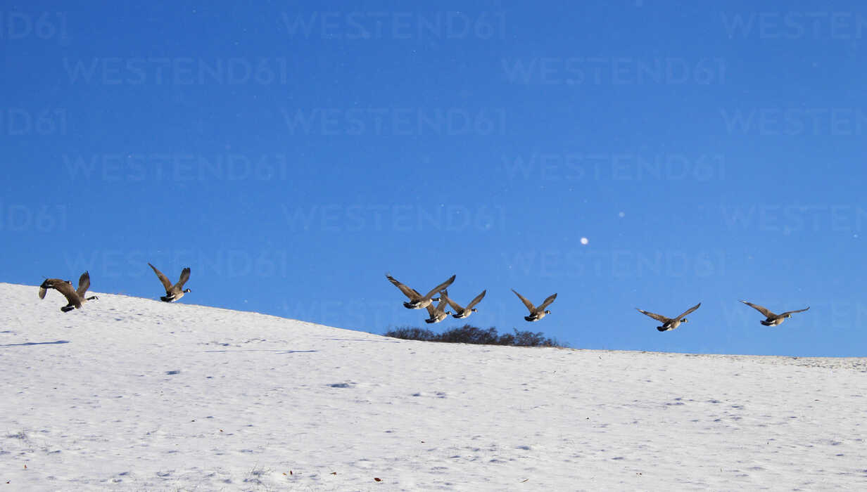 Germany, bavaria, flying grey geese in winter - HSIF00547 - hsimages/Westend61