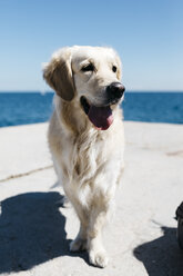 Portrait of Labrador Retriever in front of the sea - JRFF03168