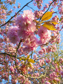 Close up of abundant pink, spring flowers blooming on branch - JUIF00895