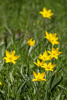 Tulipa sylvestris on a meadow - NDF00926