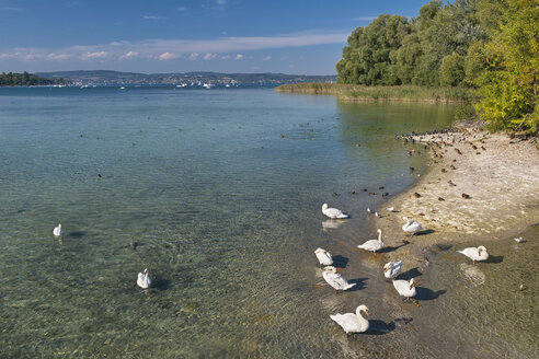Germany, Baden-Wuerrttemberg, Lake Constance, Mainau, mute swans and other water birds at lakeshore - SH02138
