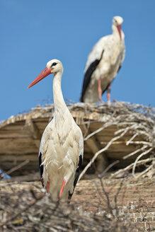 Germany, Baden-Wuerrttemberg, Lake Constance, Salem, white storks in nest - SH02165