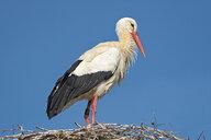 Germany, Baden-Wuerrttemberg, Lake Constance, Salem, white stork in nest - SH02168