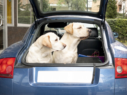 Two Labrador breed dogs in the back of car. - OCMF00416