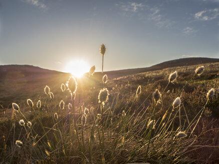 Großbritannien, Schottland, Cairngorm Mountains, bei Glenmore, Wollgras (Eriophorum) vor Sonnenuntergang - HUSF00050