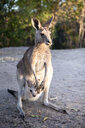 Australia, Queensland, mum kangaroo carrying joey in her pouch - GEMF02938