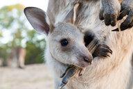 Australia, Queensland, joey in its mums pouch - GEMF02941