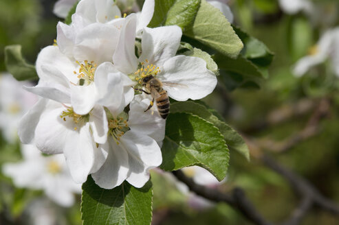 Biene, Apfelbl�te, Malus domestica, Best�ubung, Ertrag, Artenvielfalt, Schutz, Insekt, Fr�hling, Obst, Garten, biologisch, Bayern, Deutschland - CRF02855