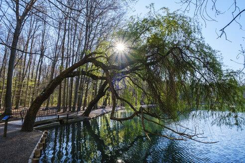 Germany, Augsburg, Siebentischwald, white willow, Salix Alba, at Stempflesee - SIEF08613