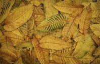 Pile of autumn leaves - BLEF00489