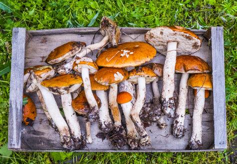 Fresh picked mushrooms on wooden tray - BLEF00663