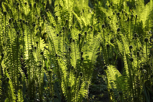 Green fern leaves and sunlight - JTF01231