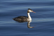 Germany, Bavaria, Chiemsee, great crested grebe on water - ZCF00778