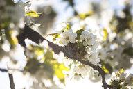 Cherry tree blossom - ASCF00999