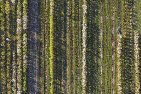 Rows of cherry trees in an orchard in spring, aerial view - ASCF01002