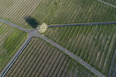 Single blossoming cherry tree standing at crossroad in vineyard, aerial view - RUEF02188