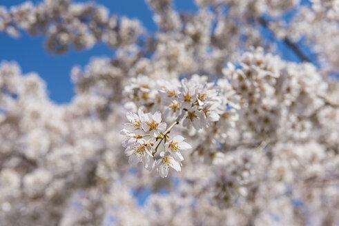 Japan, Kyotot, Maruyama Park, white cherry blossoms - RUNF01917