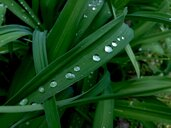 Drops on leaf - JTF01233