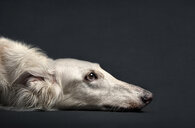 Portrait of dog laying on floor - BLEF02219