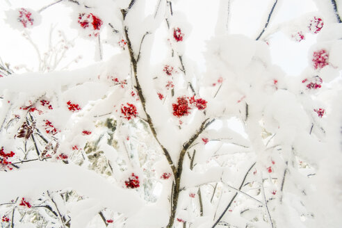 Red berries on snow covered branches - BLEF02678