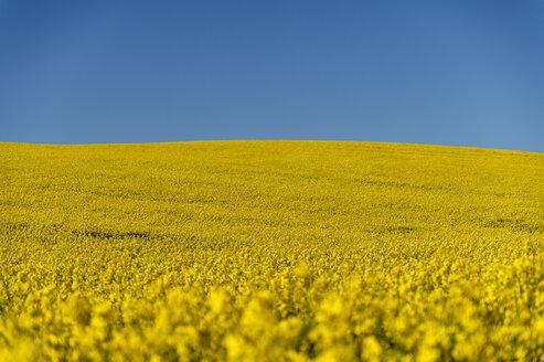 Rapsfeld, Raps (Brassica napus), Himmel, blau, Horizont, Rehna, Mecklenburg-Vorpommern, Deutschland - FRF00826