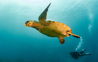 Underwater view of Hawksbill sea turtle and diver, Raja Ampat, Sorong, Nusa Tenggara Barat, Indonesia - CUF50807