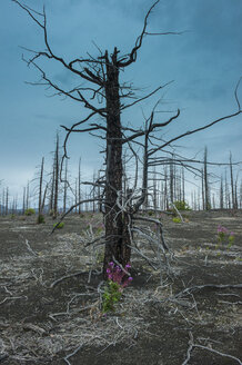 Dead tree forest on the Tolbachik volcano, Kamchatka, Russia - RUNF02039