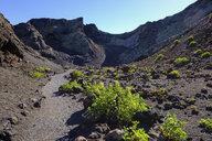 Spain, Canary Islands, Lanzarote, Los Volcanes Nature Park, Montana del Cuervo, Canary Islands sorrel, Rumex lunaria, on a way - SIEF08639
