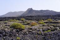 Spain, Canary Islands, Lanzarote, Los Volcanes Nature Park, Caldera Santa Catalina, Canary Islands sorrel - SIEF08645