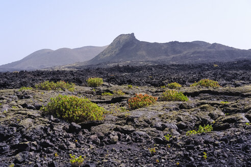 Spain, Canary Islands, Lanzarote, Los Volcanes Nature Park, Caldera Santa Catalina, Canary Islands sorrel - SIEF08645