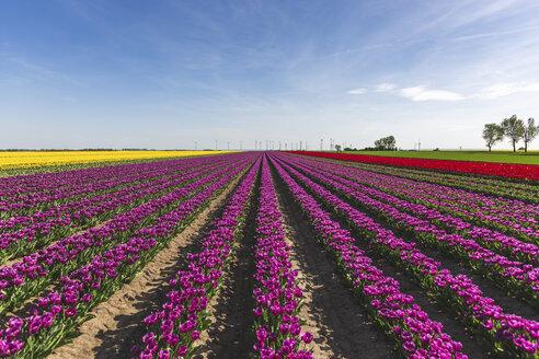 Germany, tulip fields - ASCF01030