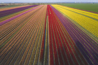 Germany, Saxony-Anhalt, aerial view of tulip fields - ASCF01040