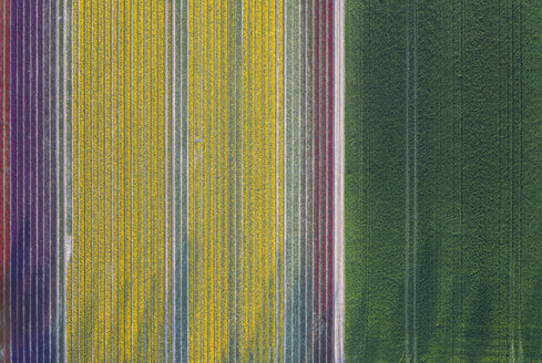 Germany, Saxony-Anhalt, aerial view of tulip fields - ASCF01043