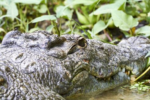 Portrait of a crocodile in the river. Queen Elizabeth National Park, Uganda, Fort Portal. - VEGF00204