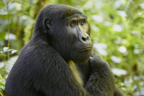 Africa, Uganda, Bwindi Impenetrable Forest, Gorilla in the forest - VEGF00213