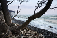 Fallen tree at stony beach, Jasmund National Park, Ruegen, Germany - WIF03905