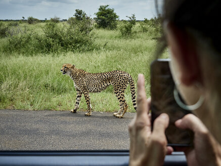 South Africa, Mpumalanga, Kruger National Park, woman taking cell phone picture of cheetah out of a car - VEGF00218