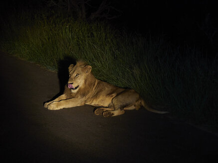 South Africa, Mpumalanga, Kruger National Park, Male lion lying on the road by night - VEGF00221