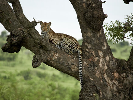 South Africa, Mpumalanga, Kruger National Park, Leopard lying on a tree - VEGF00227