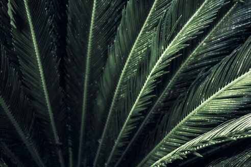 Close-up of leaves of a sago palm, Cycas Revoluta - DWIF01006