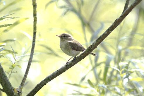 Warbler on twig, Chiemsee, Bavaria, Germany - ZCF00788