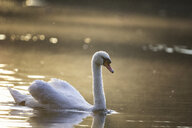 Swimming swan at evening twilight - MAMF00688
