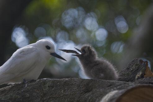 White Tern feeding its chick, Lord Howe Island, New South Wales, Australia - RUNF02169