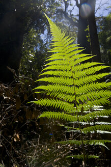 Fern trees in the Blue Mountains, New South Wales, Australia - RUNF02190
