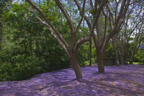 Lilac petals covering the ground in the Springbrook National Park, New South Wales, New South Wales, Australia - RUNF02206