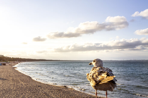 View to the beach with seagull in the foreground, Binz, Ruegen, Germany - PUF01524