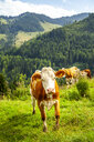Portrait of cow on Alpine meadow, Austria - PUF01561