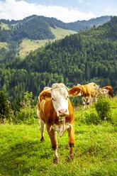 Portrait of cow on Alpine meadow, Austria - PUF01561
