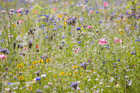 Close up of vibrant wildflowers in sunny field - JUIF01241